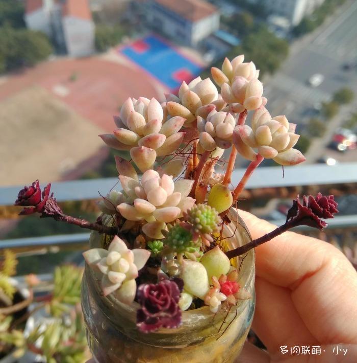 小球玫瑰的成长变化