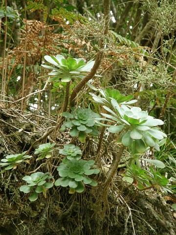 绯缘莲 Aoenium ciliatum