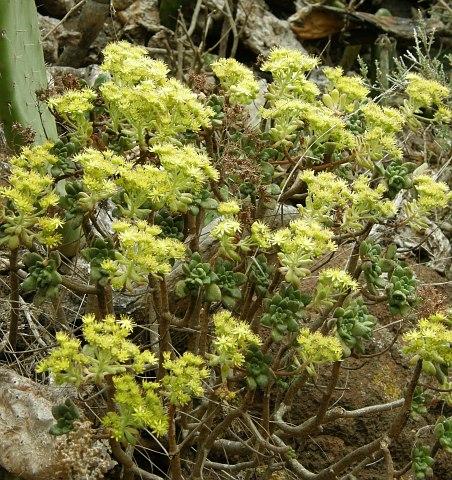 Aeonium lindleyi ssp.lindleyi