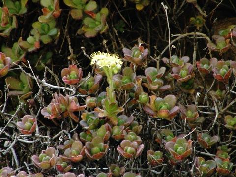 桑氏莲花掌 Aeonium saundersii