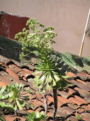 大叶莲花掌 Aeonium urbicum