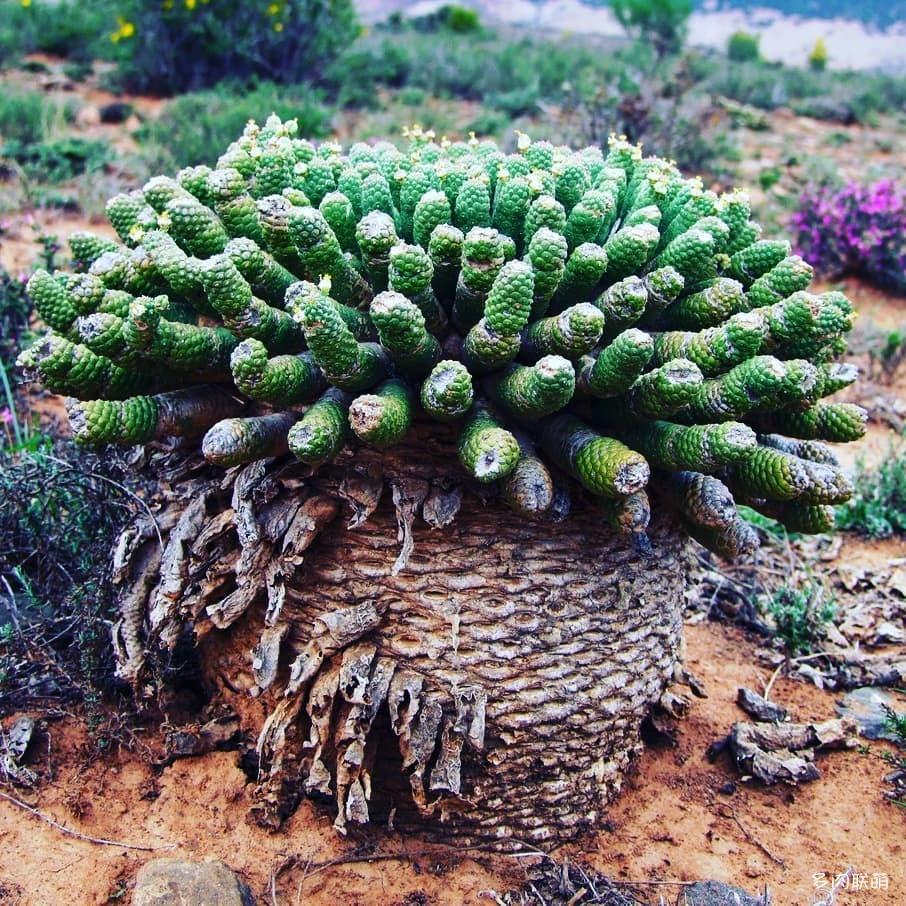 閻魔麒麟 Euphorbia esculenta
