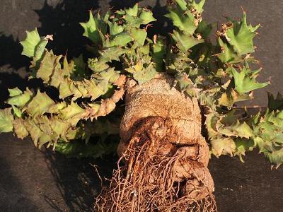 旋风麒麟 Euphorbia groenewaldii