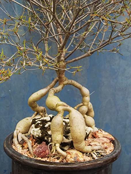 柳麒麟 Euphorbia hedyotoides