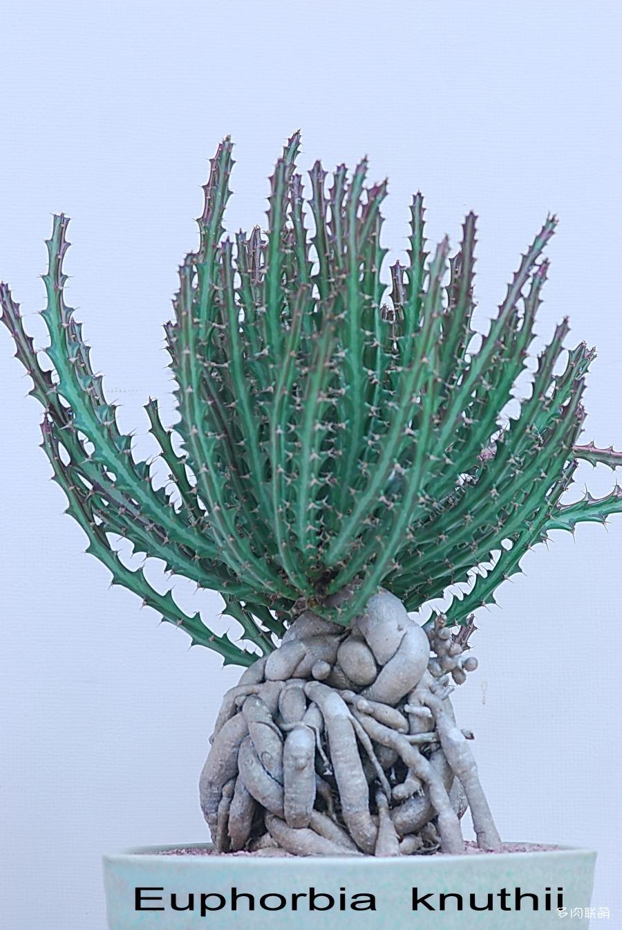 狗奴子麒麟 Euphorbia knuthii