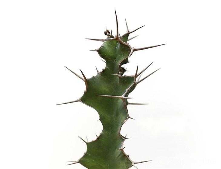 大缠麒麟 Euphorbia nyikae var. neovolkensii