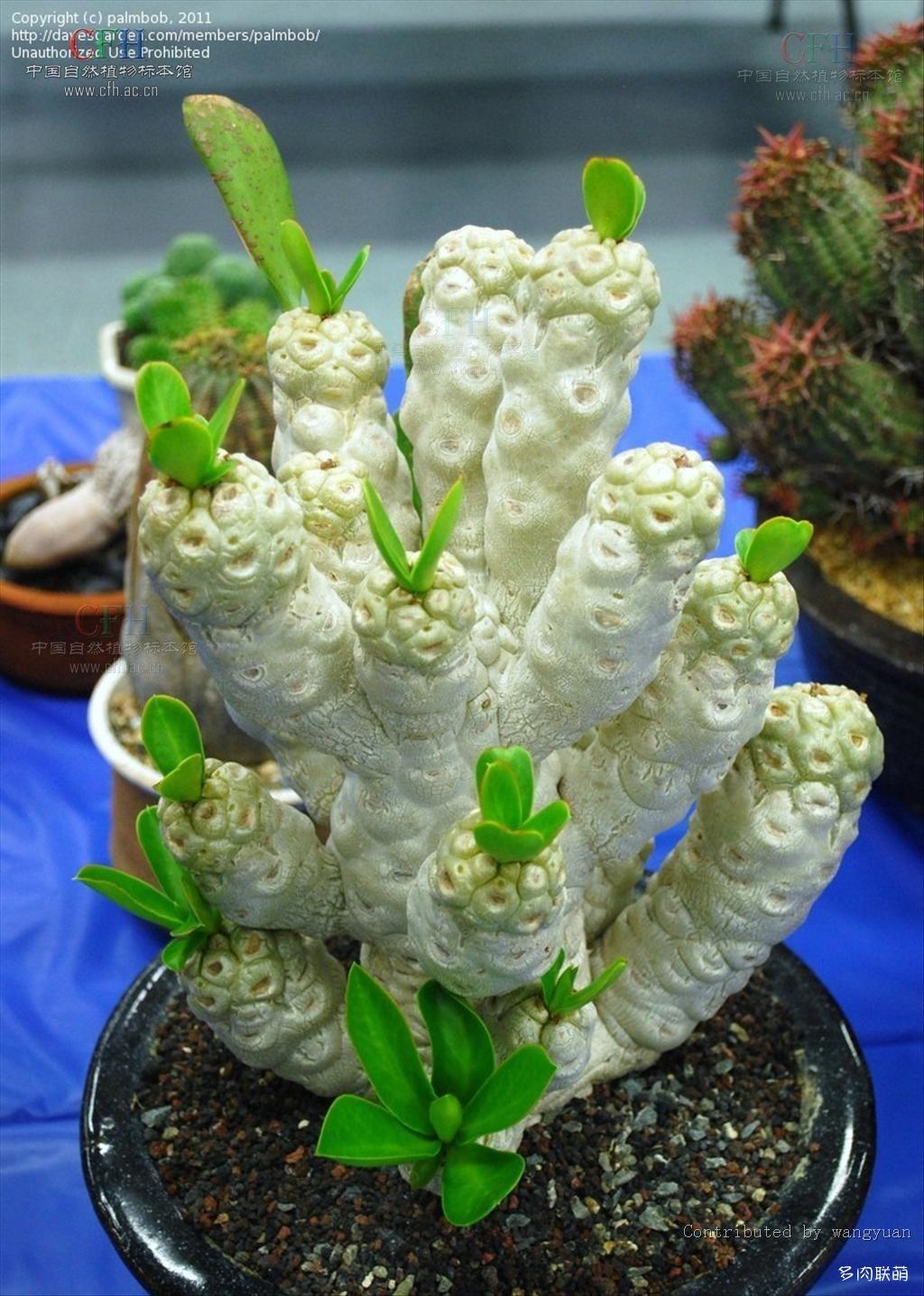 贝信麒麟/幸福麒麟 Euphorbia poissonii