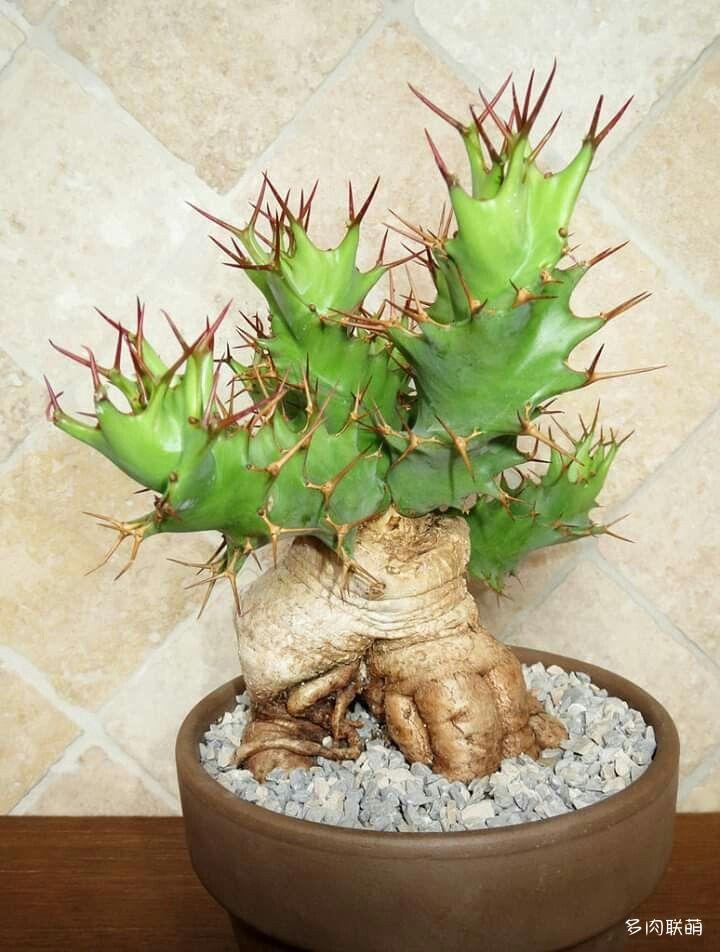 螺旋麒麟 Euphorbia tortirama