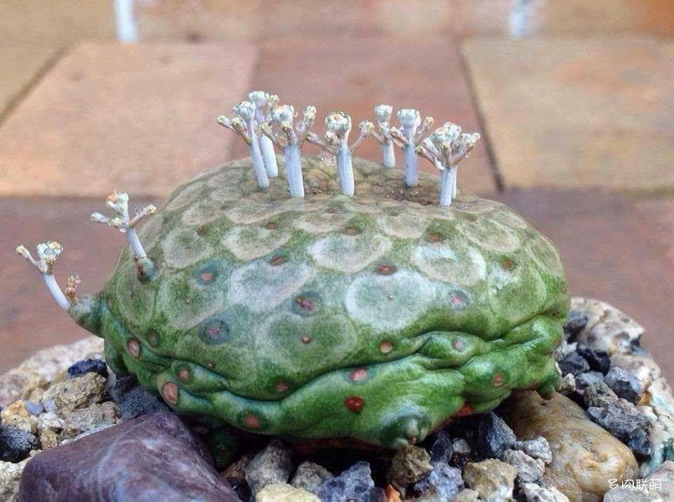 圆锥麒麟 Euphorbia turbiniformis