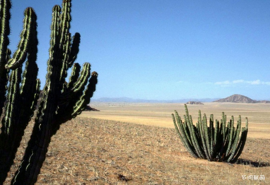 矢毒麒麟 Euphorbia virosa