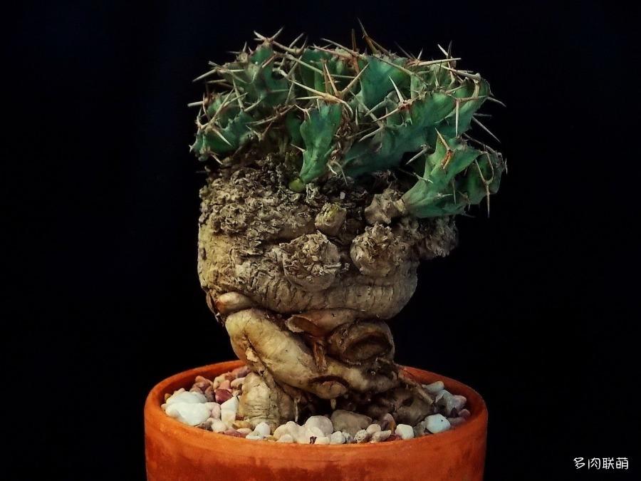 棒麒麟 euphorbia clavigera