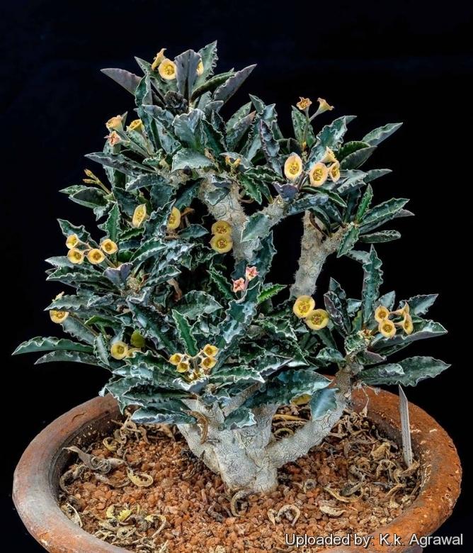 圣皱叶麒麟 Euphorbia decaryi var. capsaintemariensis