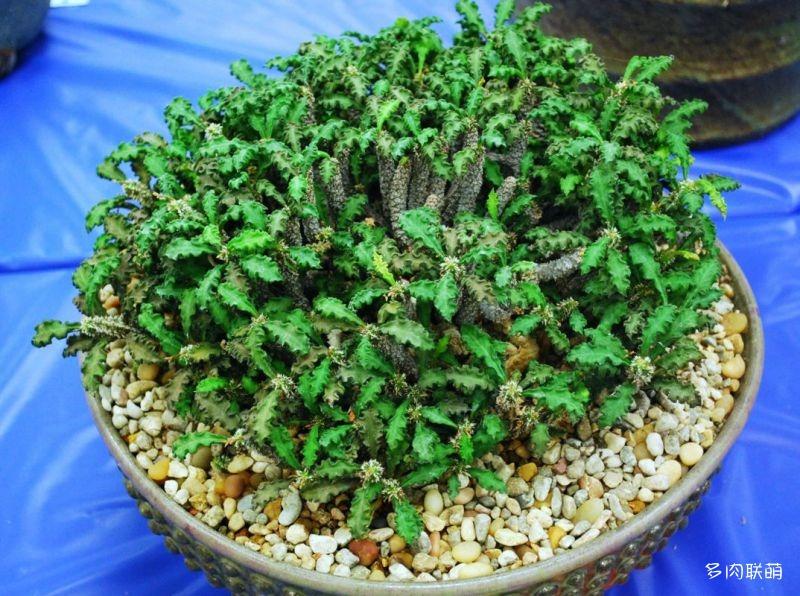 皱叶麒麟 Euphorbia decaryi
