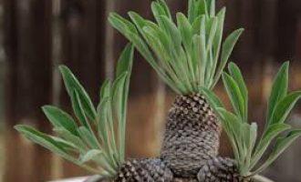 像松果也像菠萝的铁甲麒麟