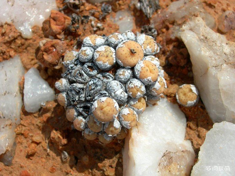 Conophytum jucundum ssp. jucundum