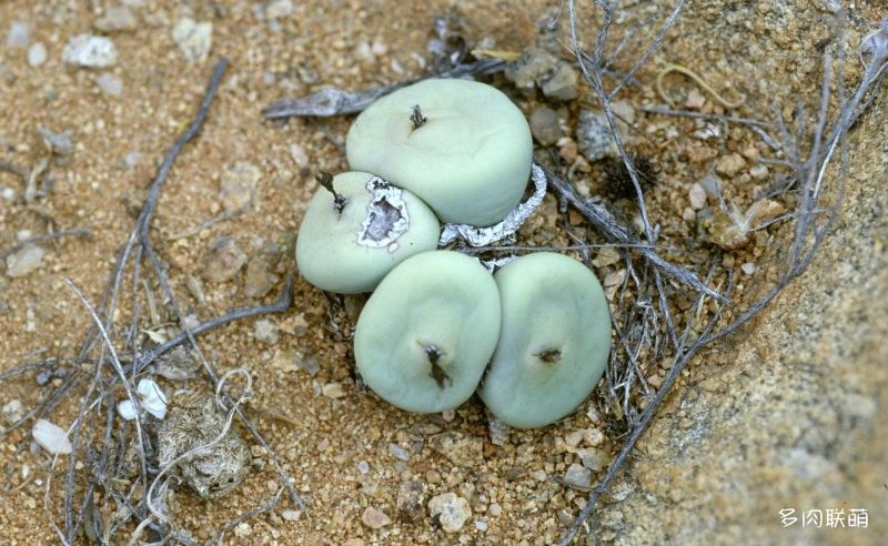 Conophytum calculus ssp. vanzeylii