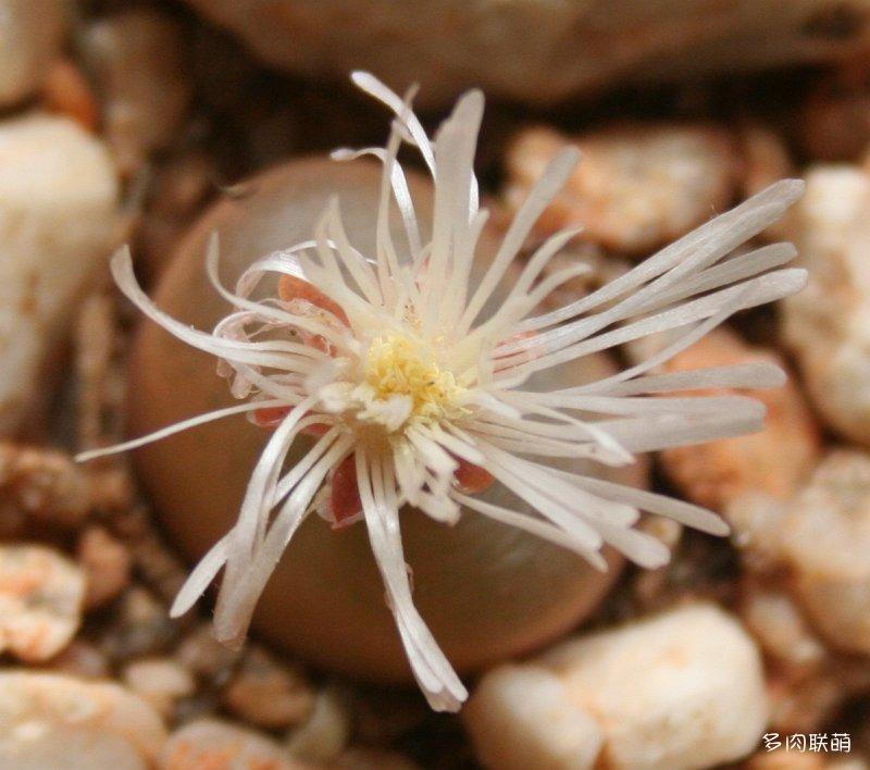 毛汉尼 Conophytum maughanii ssp. maughanii