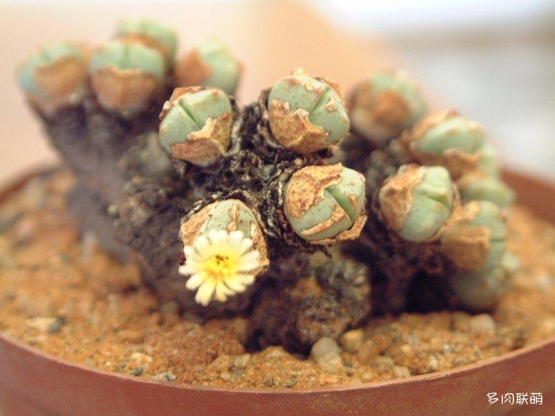 Conophytum quaesitum