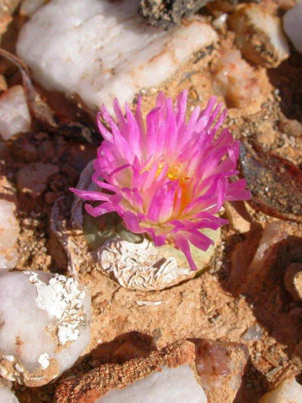 翠星 Conophytum subfenestratum