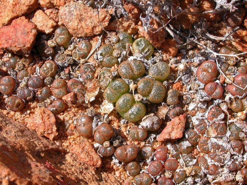 Conophytum terricolor
