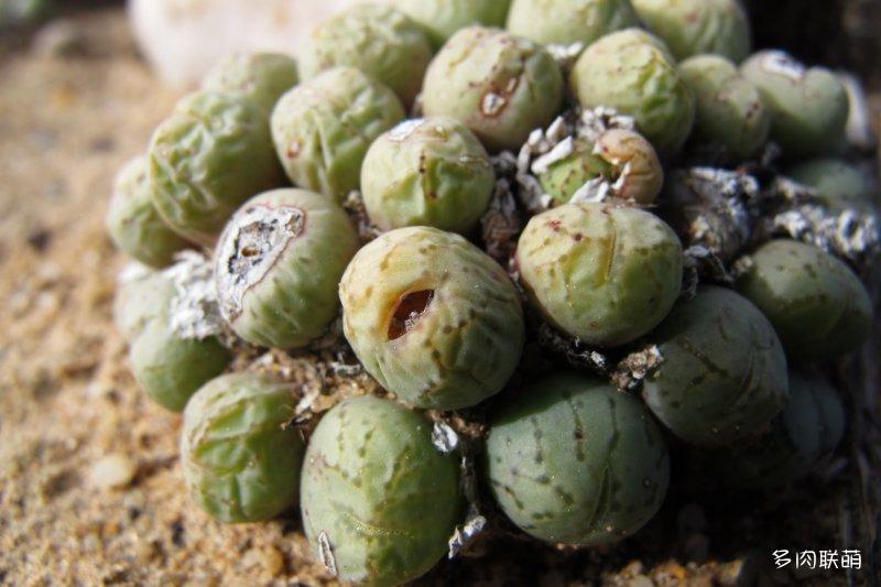 萤光玉 Conophytum uviforme