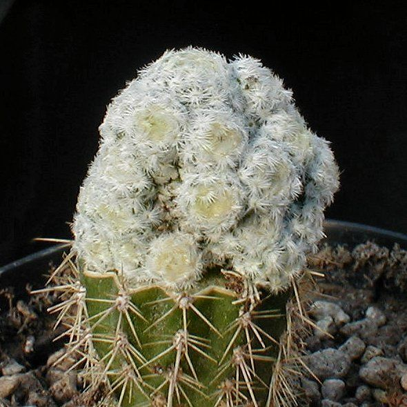 白鸟石化 Mammillaria_herrerae_f_monstuosa