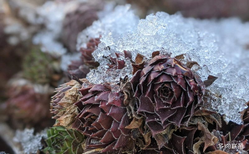 冰雪里的长生草