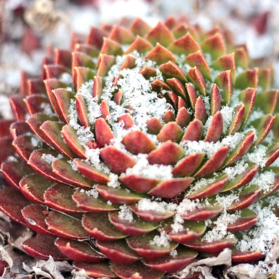 冰雪里的拟石莲属