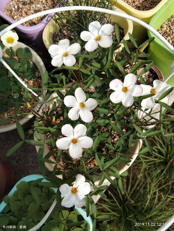酢浆草的养护和记录