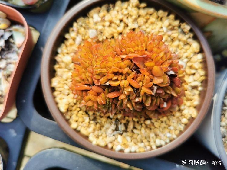 杭州,初冬,雨后的多肉