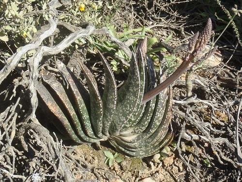 假芦荟 Gasteria brachyphylla