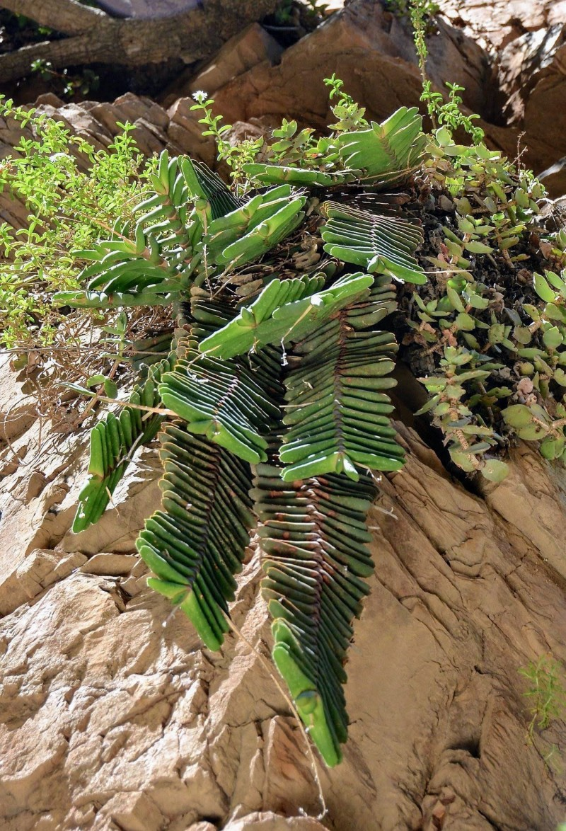垂吊型卧牛 Gasteria rawlinsonii