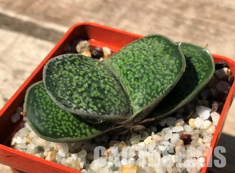 假芦荟 Gasteria brachyphylla var. bayeri