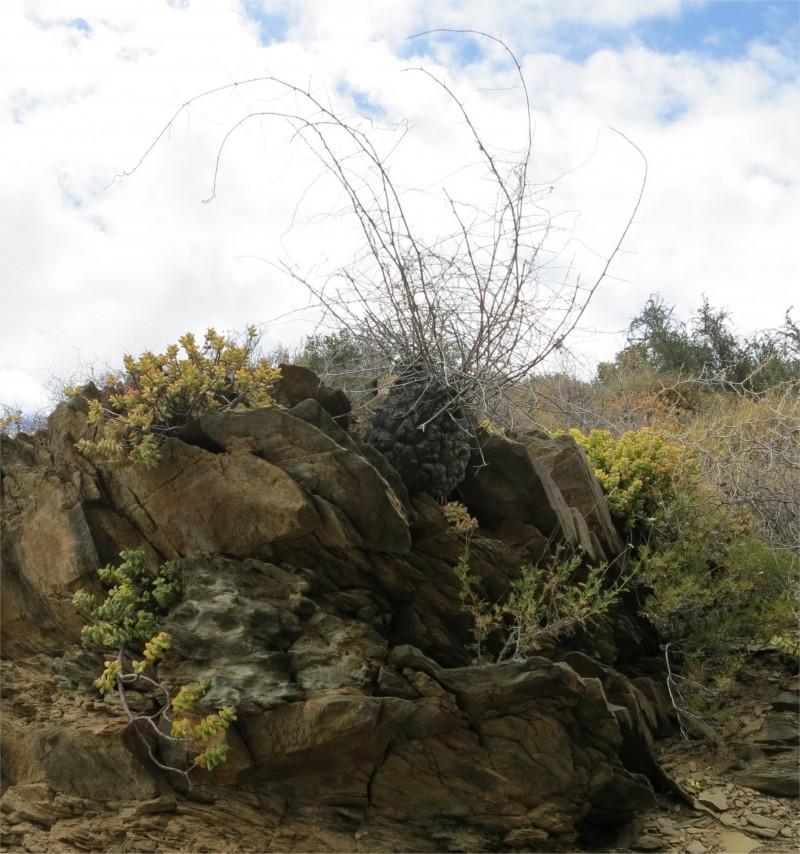 半圆龟甲龙 Dioscorea hemicrypta