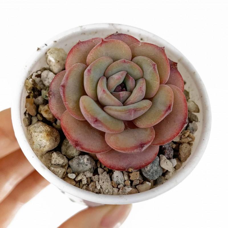 echeveria Soul Mint