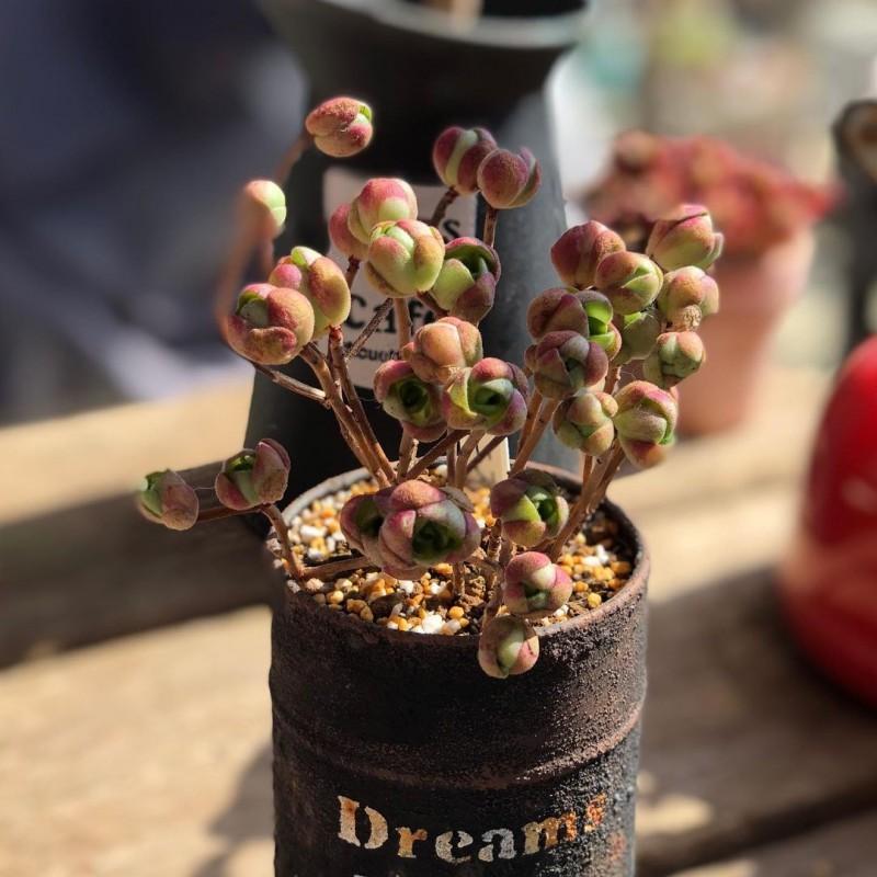 橄榄球玫瑰/桑氏莲花掌 Aeonium saundersii