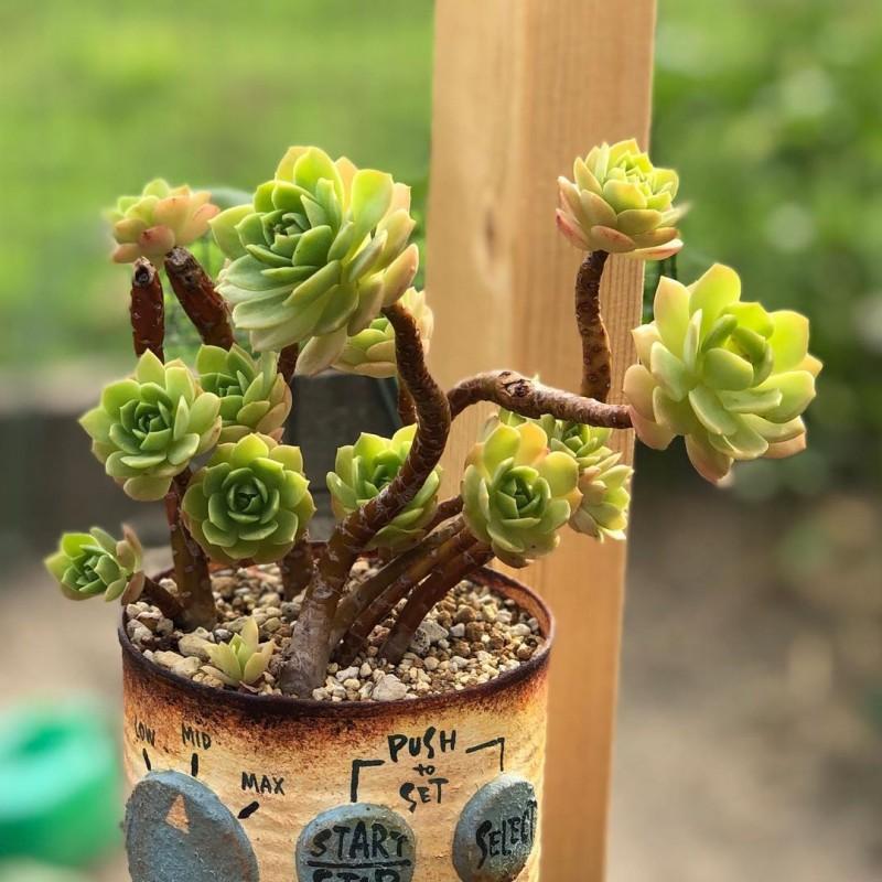 绿蔷薇 Sedeveria 'Green Rose'