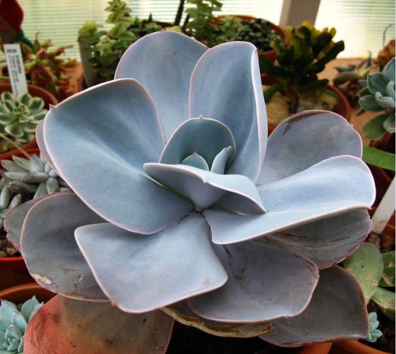 雪莲系 Echeveria 'Blue Dude'