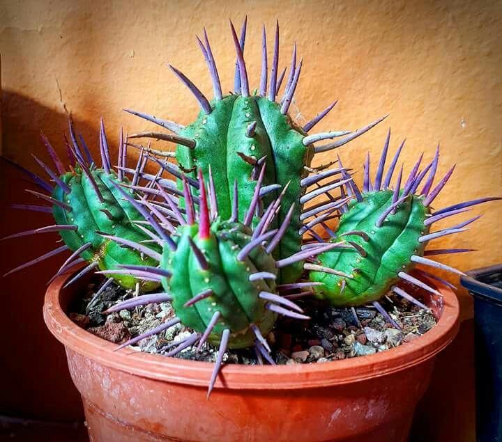 猛麒麟 Euphorbia ferox