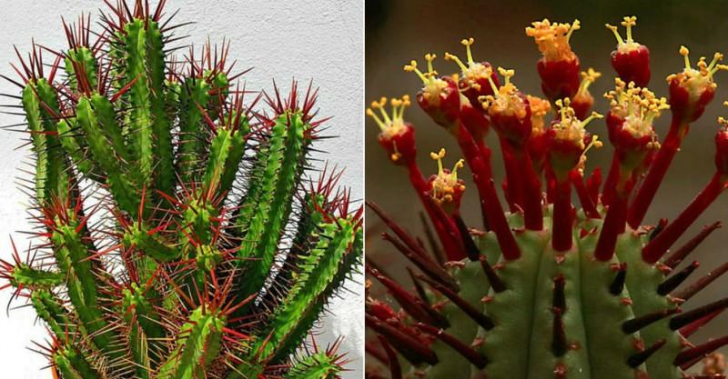 火麒麟 Euphorbia enopla