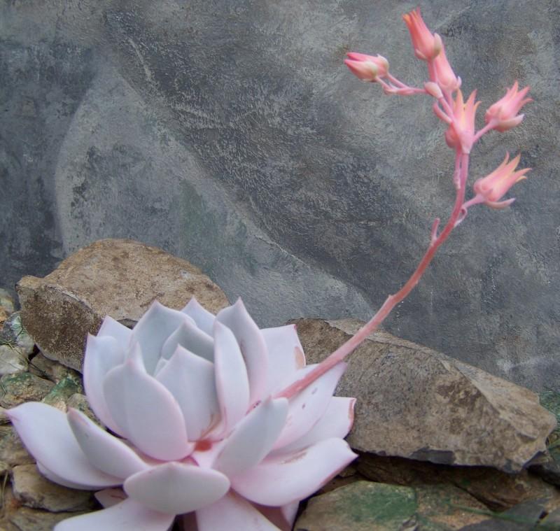 雪莲和浮岳莲的杂交品种 Echeveria 'Lais'