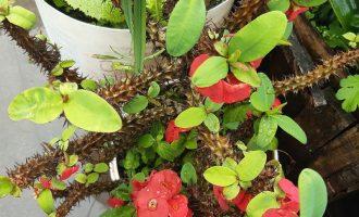 花型似梅,茎上有刺的麒麟花