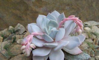 薄叶蓝鸟 × 雪莲,Pearl