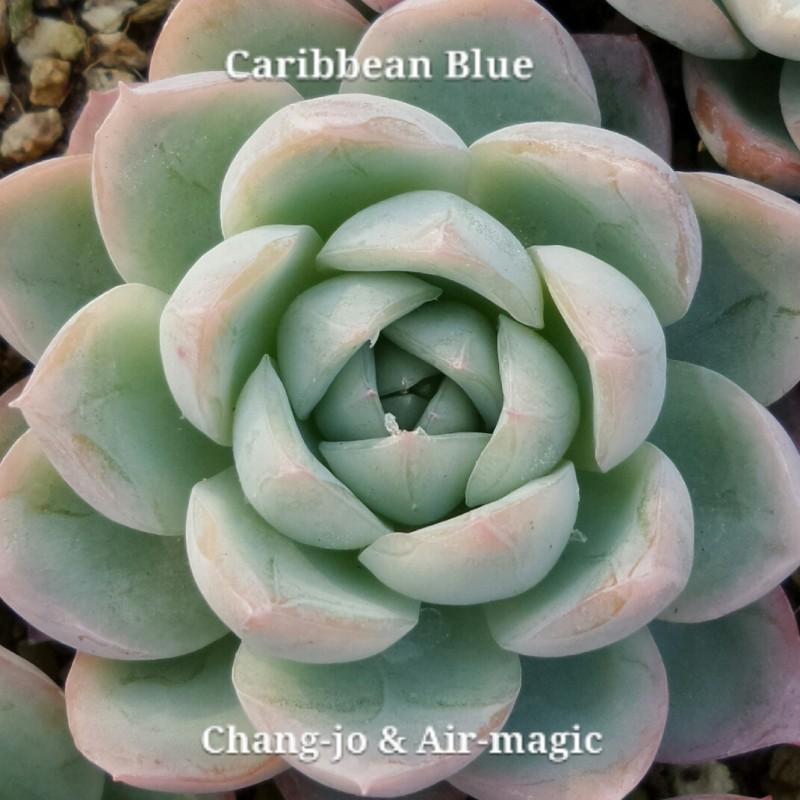 Echeveria 'Caribbean Blue' 加勒比海蓝