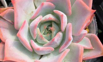 粉红边的秋樱