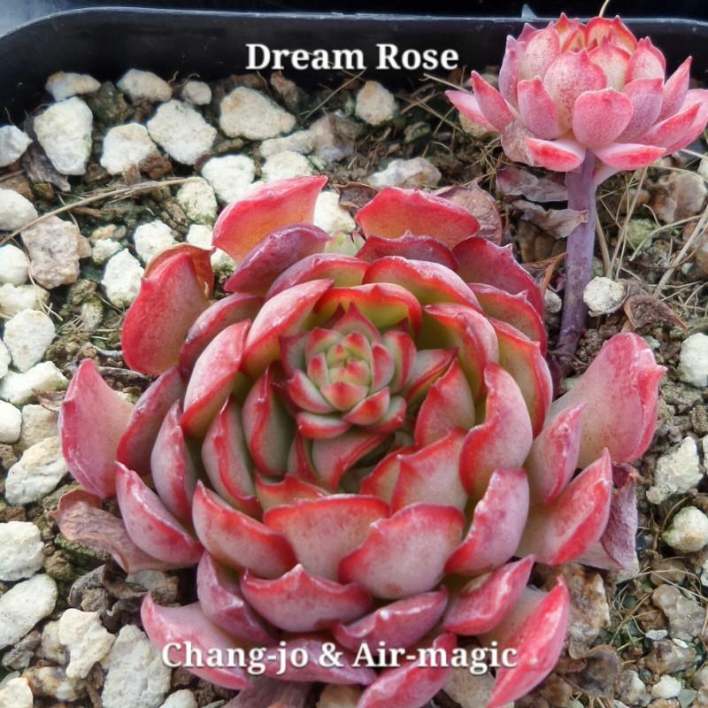 Echeveria 'Dream Rose' 梦幻玫瑰
