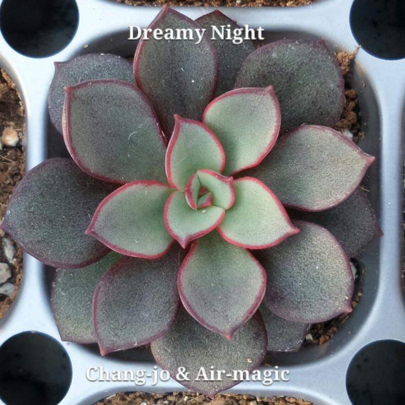 Echeveria 'Dreamy Night'