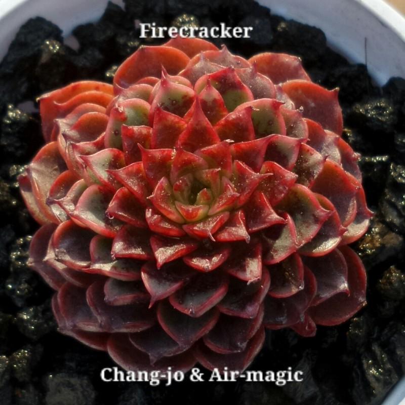 Echeveria 'Firecracker'