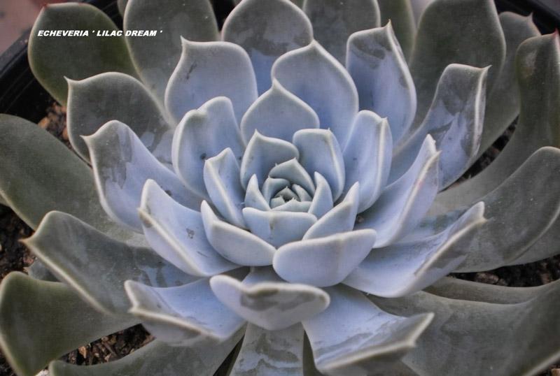 丁香梦 Echeveria 'Lilac Dream'