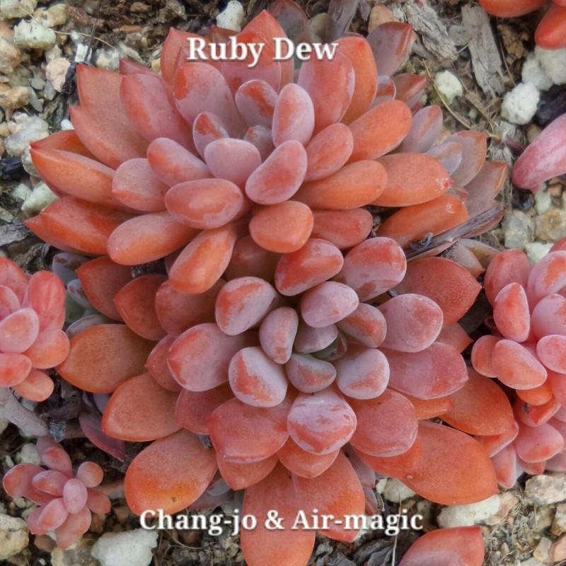 xGraptoveria 'Ruby Dew'